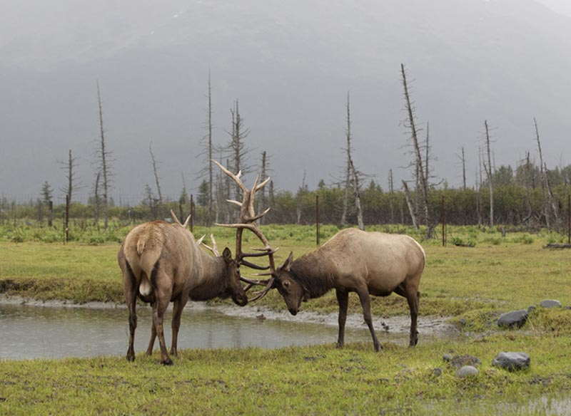 Elk locking horns.