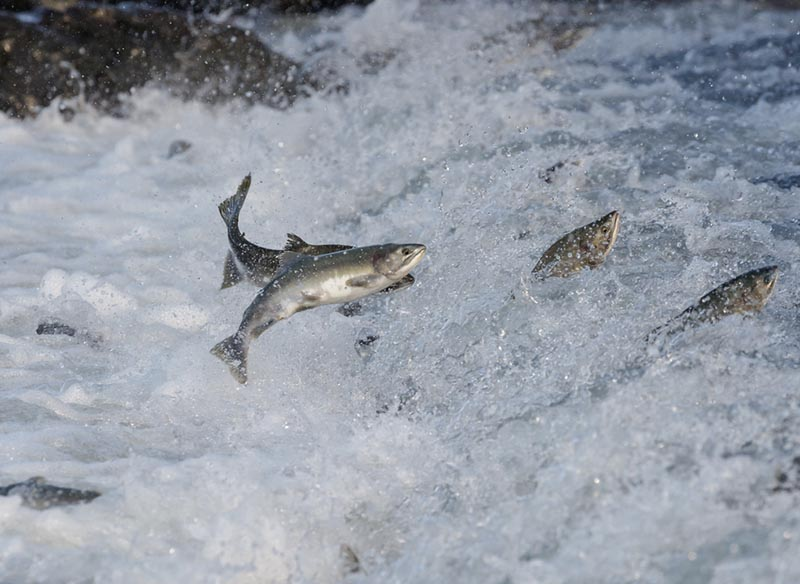 Salmon jumping up river.