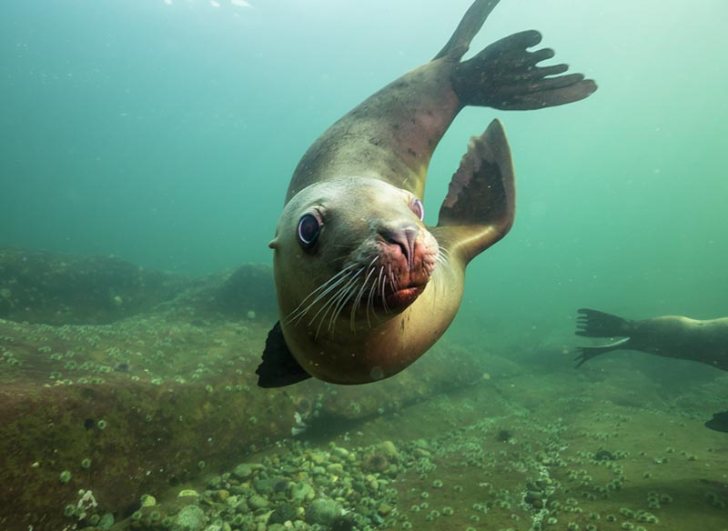 sea lion underwater.